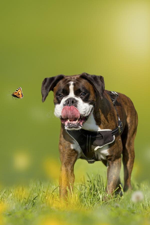 Hund, Boxer, deutscher Boxer, der Schmetterling auf einer Wiese jagt lizenzfreie stockfotografie