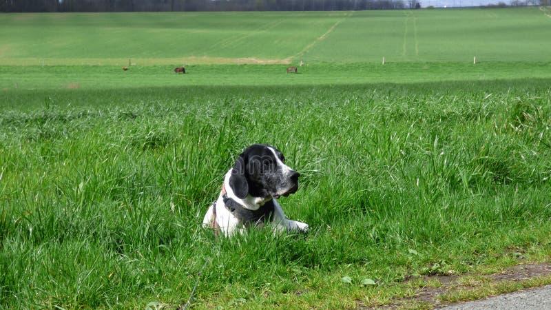 Hund-braque d 'Auvergne auf einem Gebiet lizenzfreie stockfotos