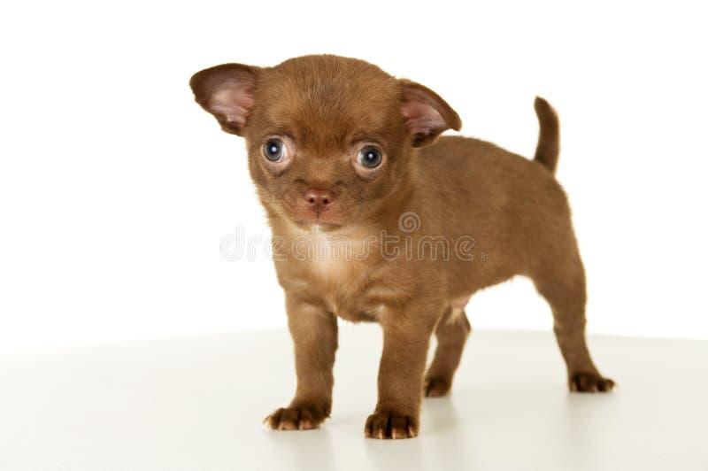 Hund, braune Stände des Welpen Farb stockfotografie