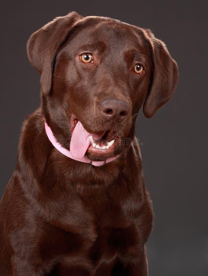 Hund Brown-Labrador stockfotografie