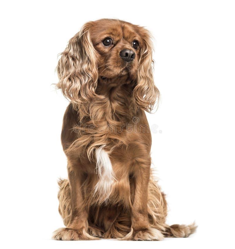 Hund Brown-unbekümmerter Königs Charles Spaniel, Sitzen, lokalisiert auf wh stockbild