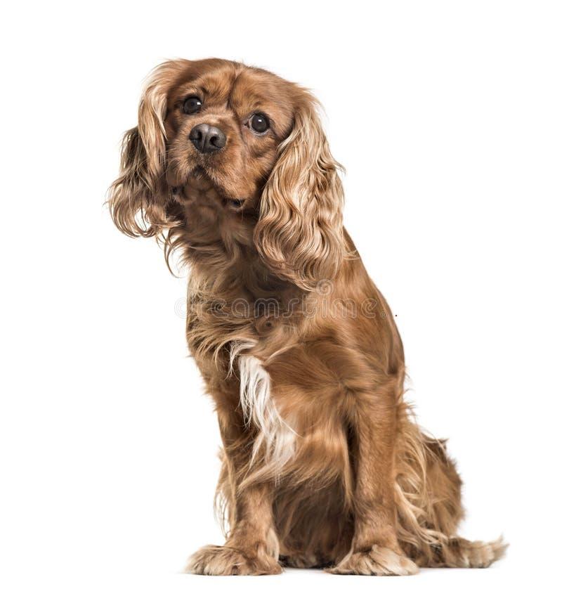 Hund Brown-unbekümmerter Königs Charles Spaniel, Sitzen, lokalisiert auf wh stockfoto