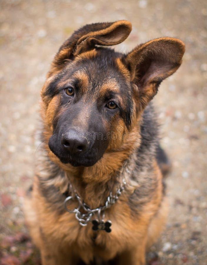 Hund`-Ciobanesc tysk `, arkivfoto