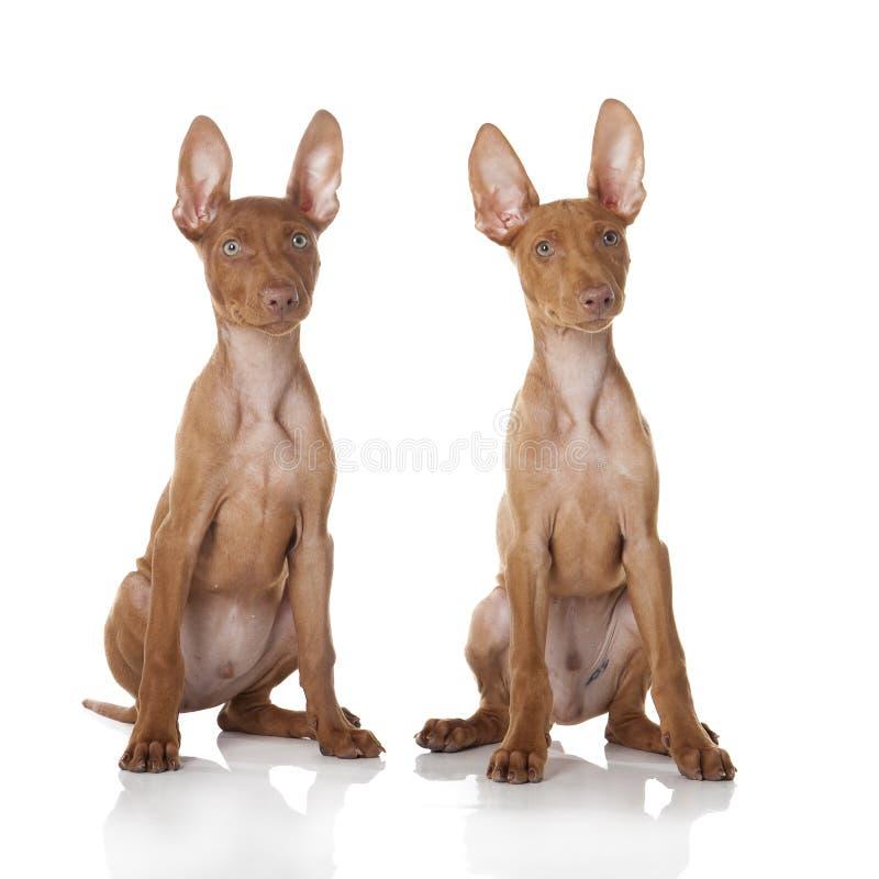 Hund Cirneco Ätna lizenzfreies stockfoto