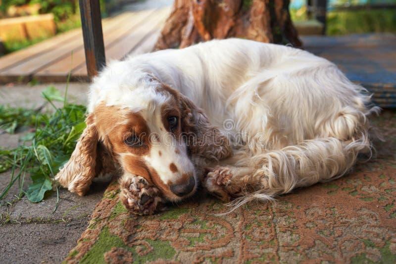 Hund Cocker Spaniel med en ledsen blick, stående royaltyfri fotografi