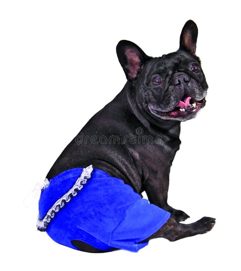 Hund in den blauen Hosen lizenzfreie stockfotografie