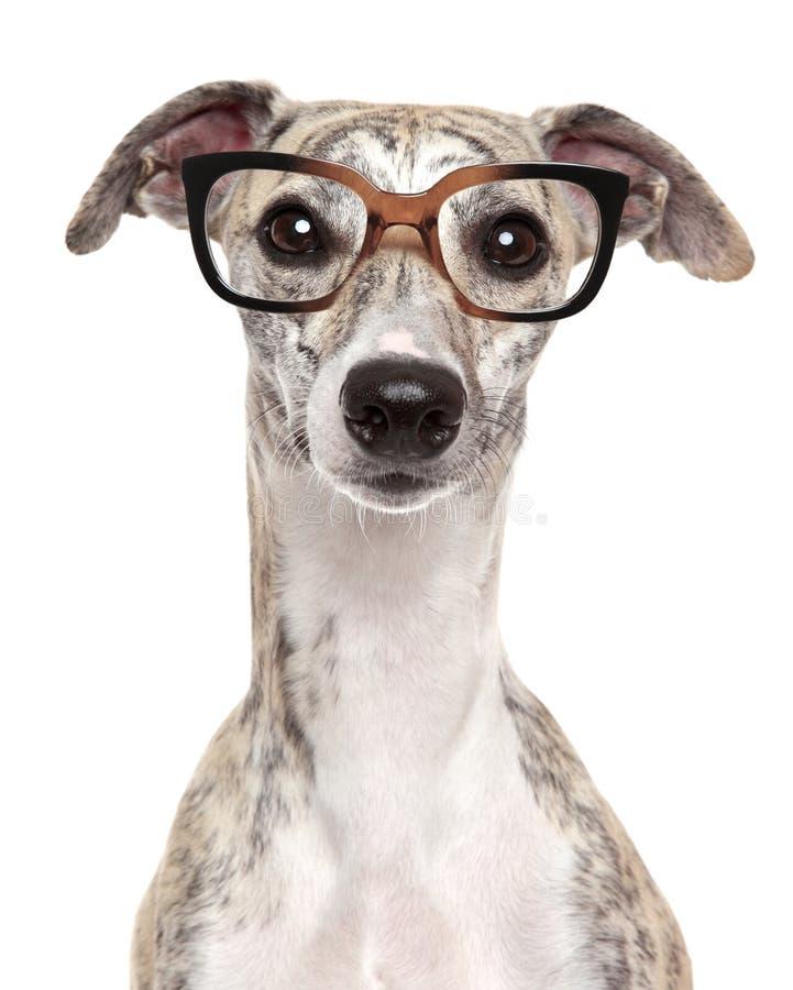 Hund in den Gläsern auf weißem Hintergrund stockfotografie