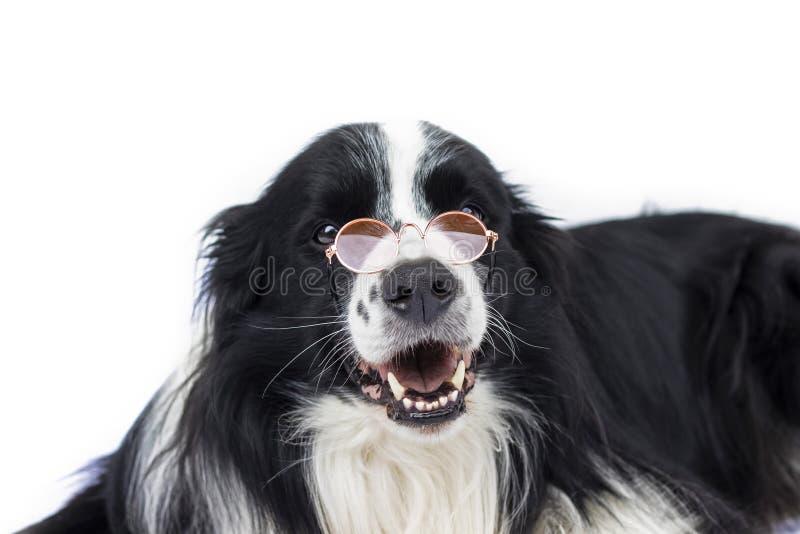 Hund in den Gläsern sieht wie Lehrer oder Professor aus stockfotografie