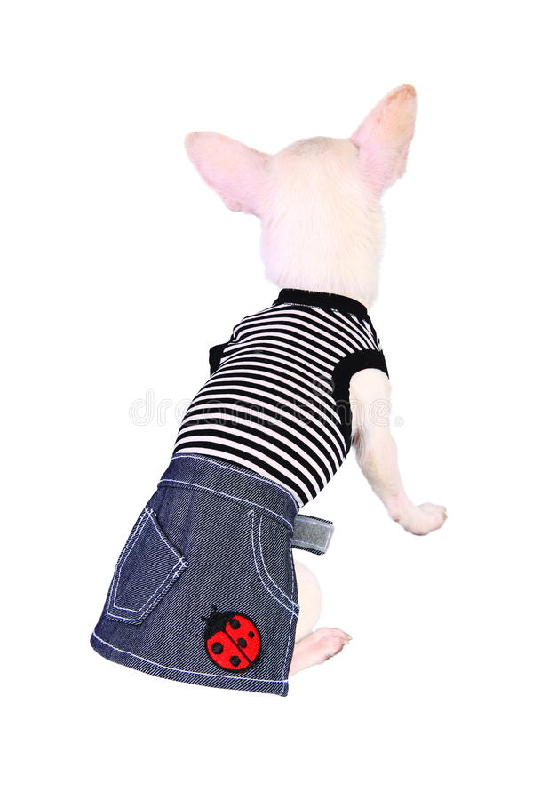 Hund in den Jeans Rock und Hemd lizenzfreie stockbilder