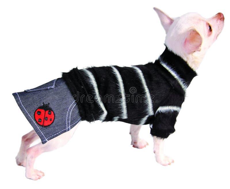 Hund in den Jeans Rock und Strickjacke stockfoto