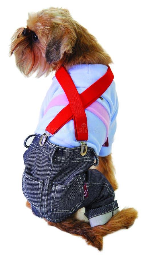 Hund in den Jeans und in der Strickjacke stockbilder