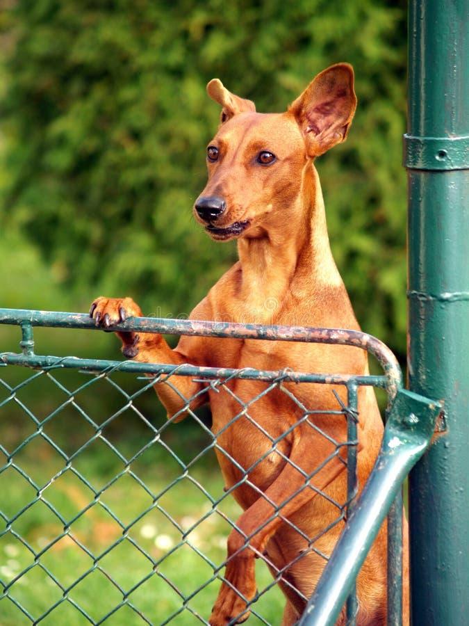 hund der ber zaun schaut stockbild bild von abdeckung 32935189. Black Bedroom Furniture Sets. Home Design Ideas