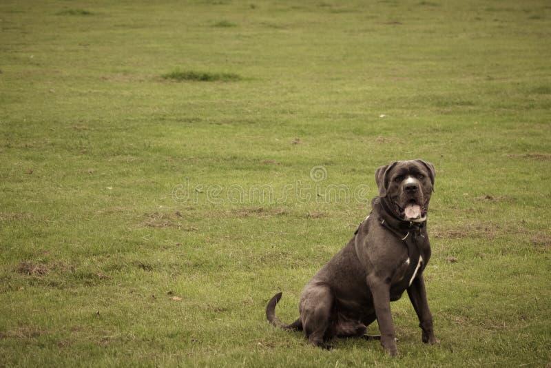Hund, der Atem holt Gr?ner Hintergrund stockfotos