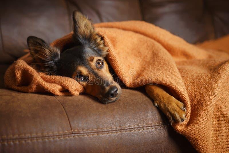 Hund, der auf Couch unter Decke liegt stockbild