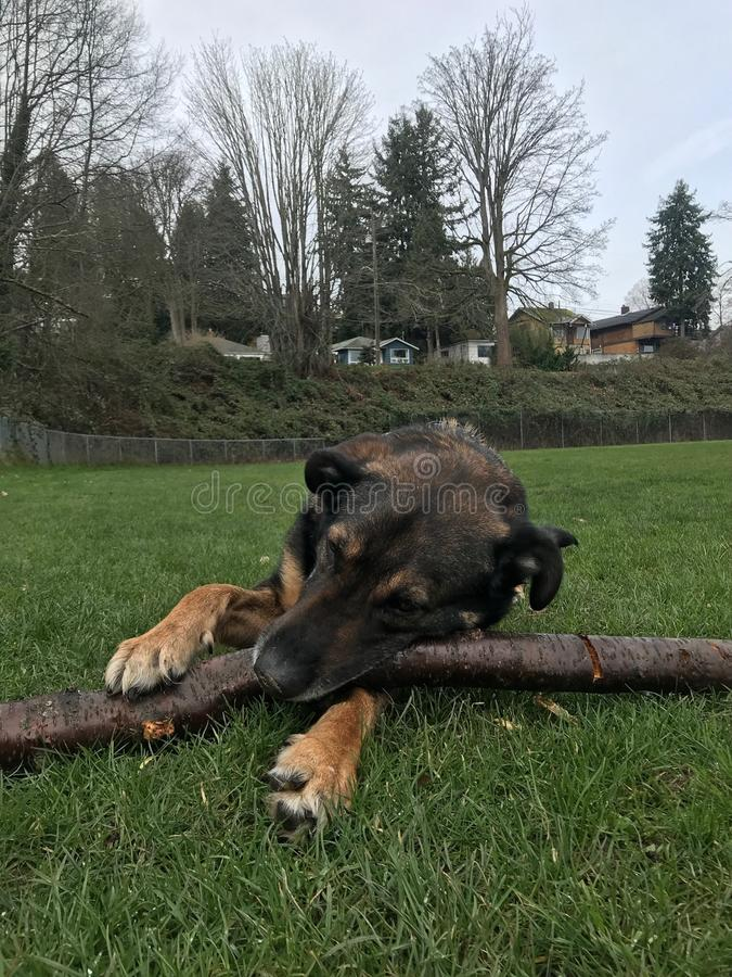 Hund, der auf das Gras kaut Stock legt stockfotografie