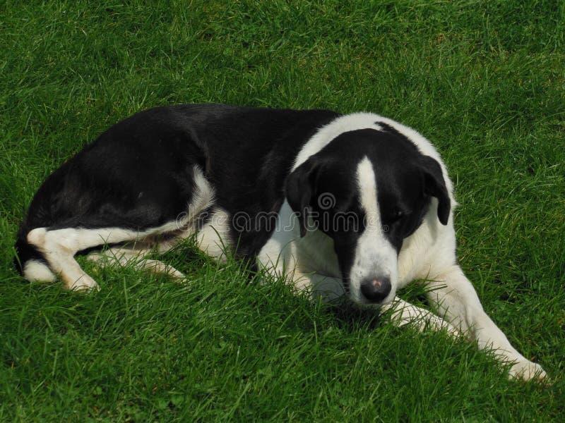 Hund, der auf das Gras legt stockfoto