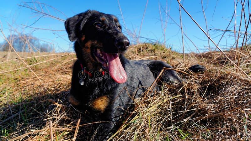 Hund, der auf dem Gebiet liegt lizenzfreie stockfotografie