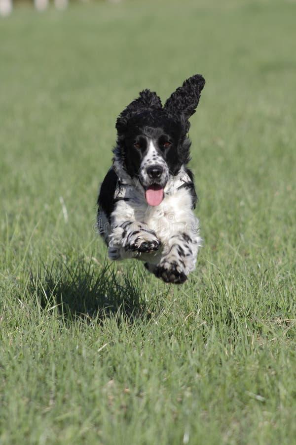 Hund, der auf dem Grasohrfliegen läuft lizenzfreies stockfoto