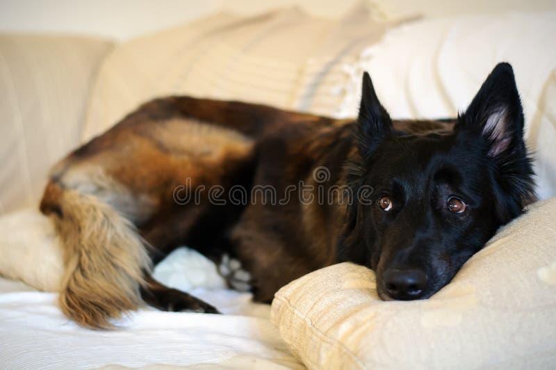 Hund, der auf dem Sofa liegt stockbild