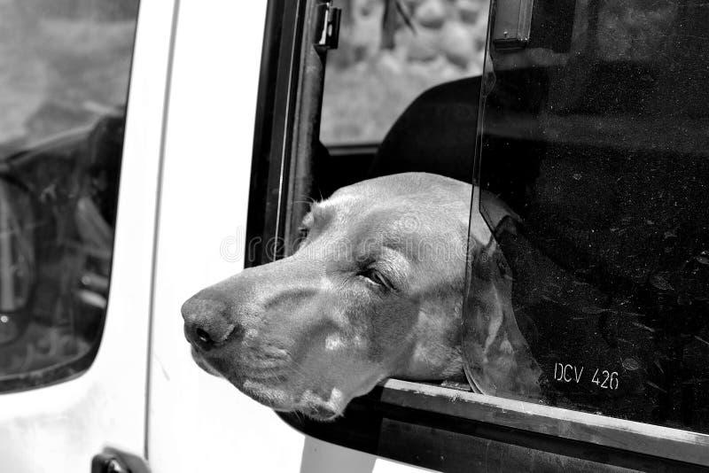 Hund, der auf einem Straßenauto possing ist stockfoto