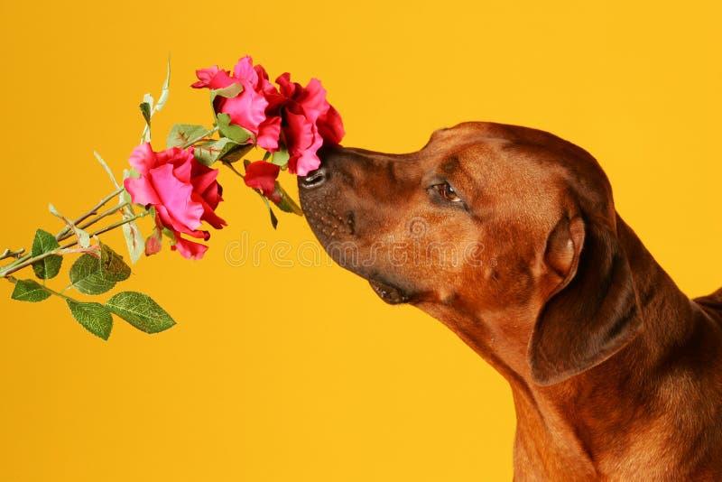Hund, der auf einer Rose schnüffelt lizenzfreies stockbild