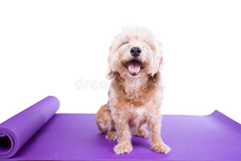 Hund, der auf einer Yogamatte sitzt stockfotografie