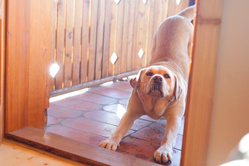 Hund, der auf Front der Tür ausdehnt lizenzfreie stockfotos
