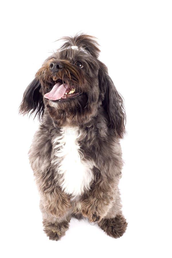 Hund, der auf seinen Hinterfahrwerkbeinen steht stockbilder
