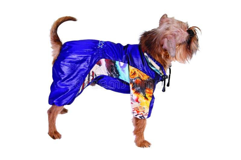 Hund in der blauen Klage lizenzfreie stockbilder