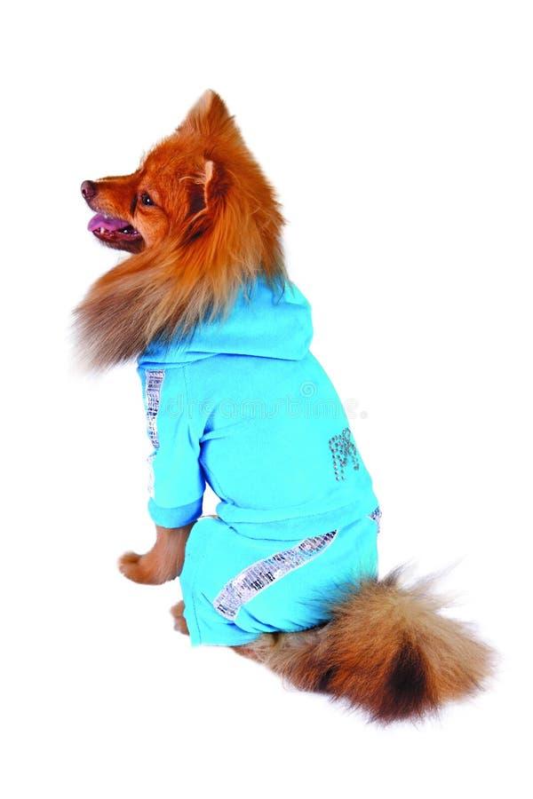 Hund in der blauen Klage stockfotos