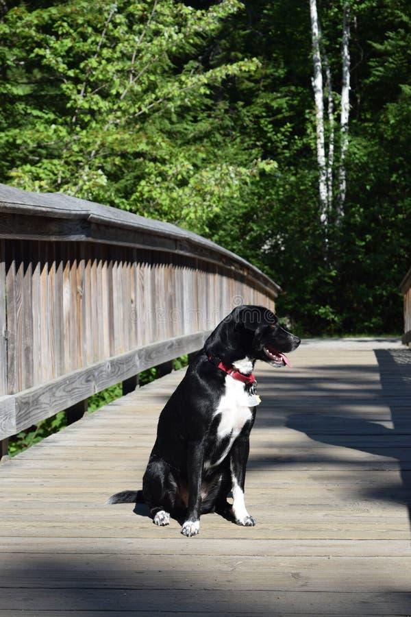 Hund, der den Anblick auf einer Brücke über einem Fluss einläßt lizenzfreies stockfoto