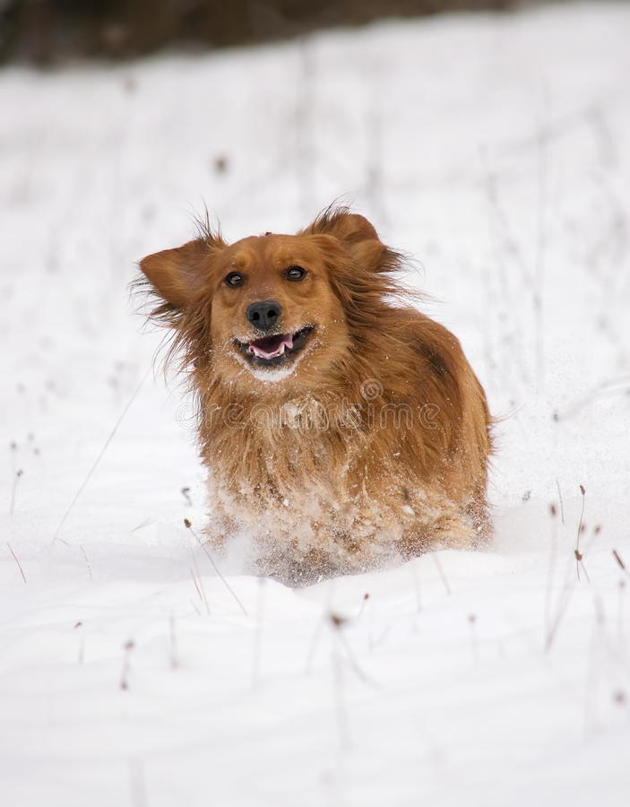 Hund, der in den Schnee läuft stockfotos