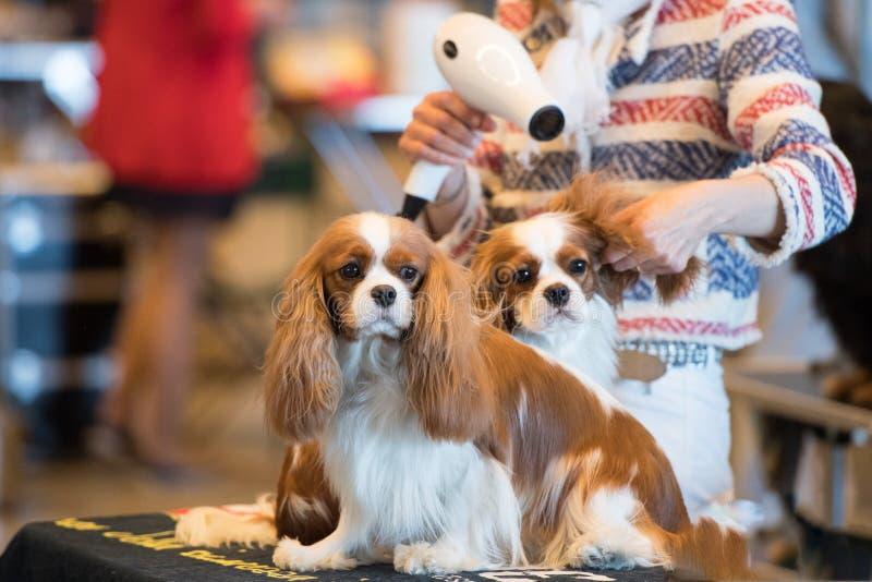 Hund, der an der internationalen Hundeshow sich pflegt stockfotografie