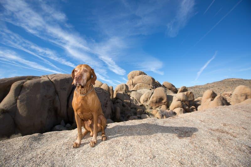 Hund, der in der Wüste sitzt lizenzfreies stockbild