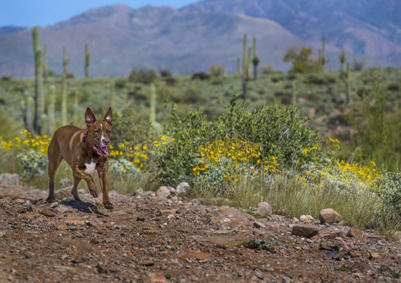 Hund, der in die Arizona-Wüste läuft lizenzfreies stockbild