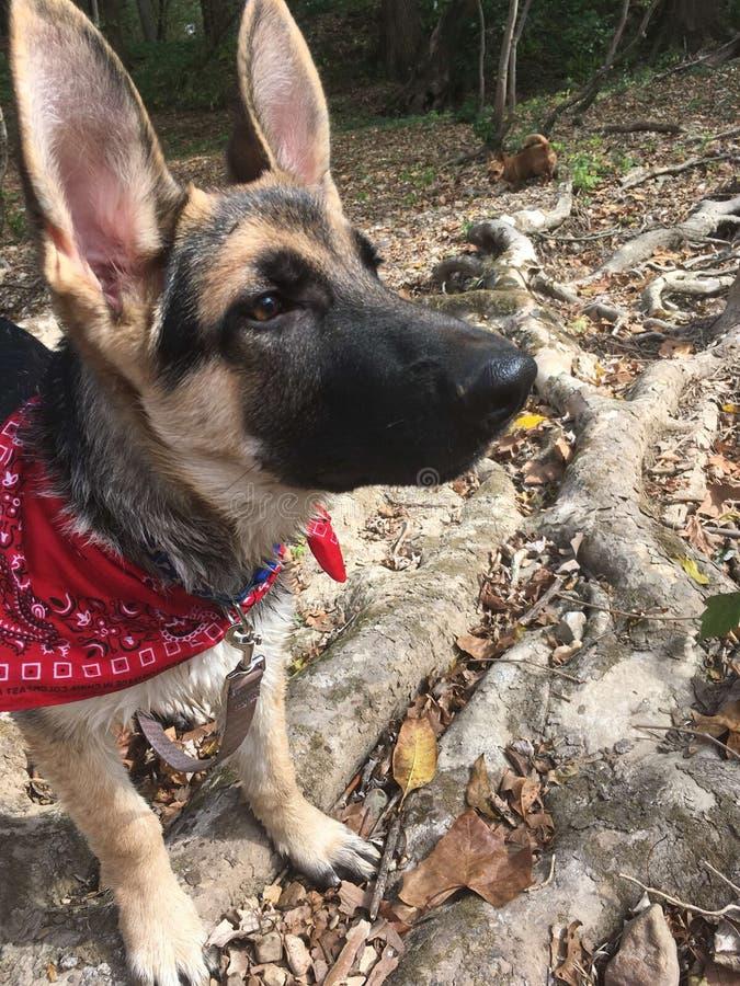 Hund, der die Luft schnüffelt lizenzfreie stockbilder