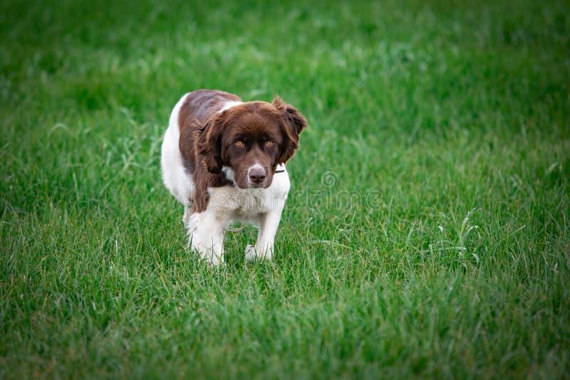 Hund, der in die Wiese nach vorn schaut gerade läuft lizenzfreie stockfotos