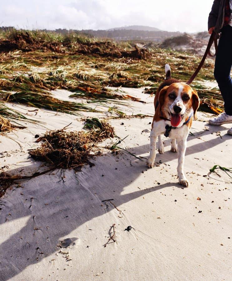 Hund, der durch den Strand geht lizenzfreies stockbild