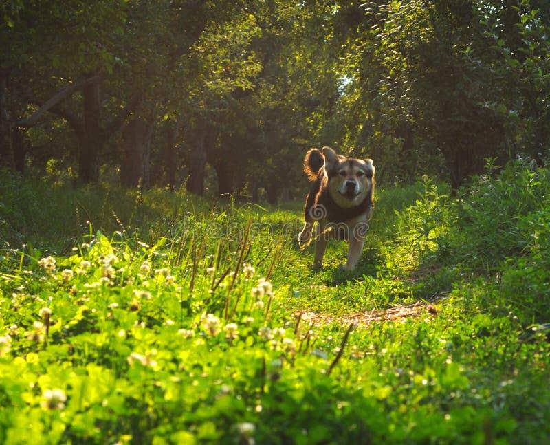 Hund, der durch Wald läuft lizenzfreies stockbild