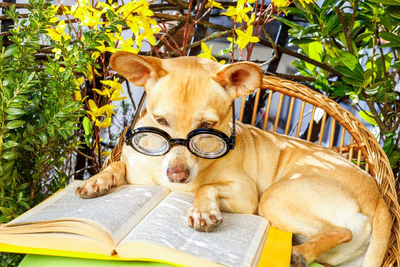 Hund, der ein Buch liest lizenzfreies stockfoto