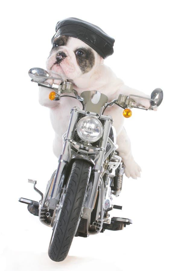 Hund, der ein Motorrad reitet lizenzfreie stockfotos