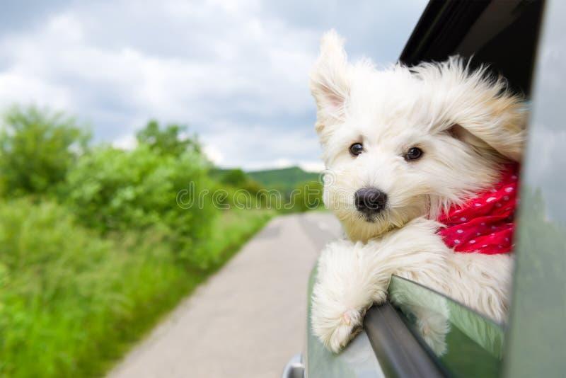 Hund, der eine Fahrt genießt lizenzfreie stockbilder