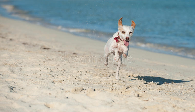 Hund, der entlang die Küste läuft lizenzfreie stockfotografie