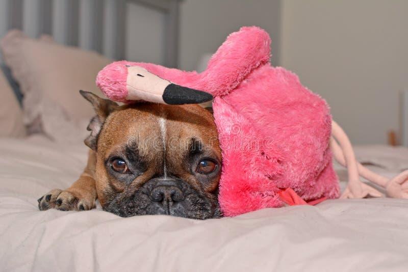 Hund der französischen Bulldogge, der auf Bett mit rosa Flamingovogel-Plüschspielzeug auf Kopf liegt stockbilder