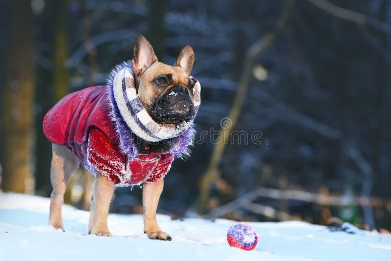 Hund der französischen Bulldogge mit dem Winterschal und rotem Pelzmantel, die oben vor Spielzeug in der Winterschneelandschaft s stockfoto