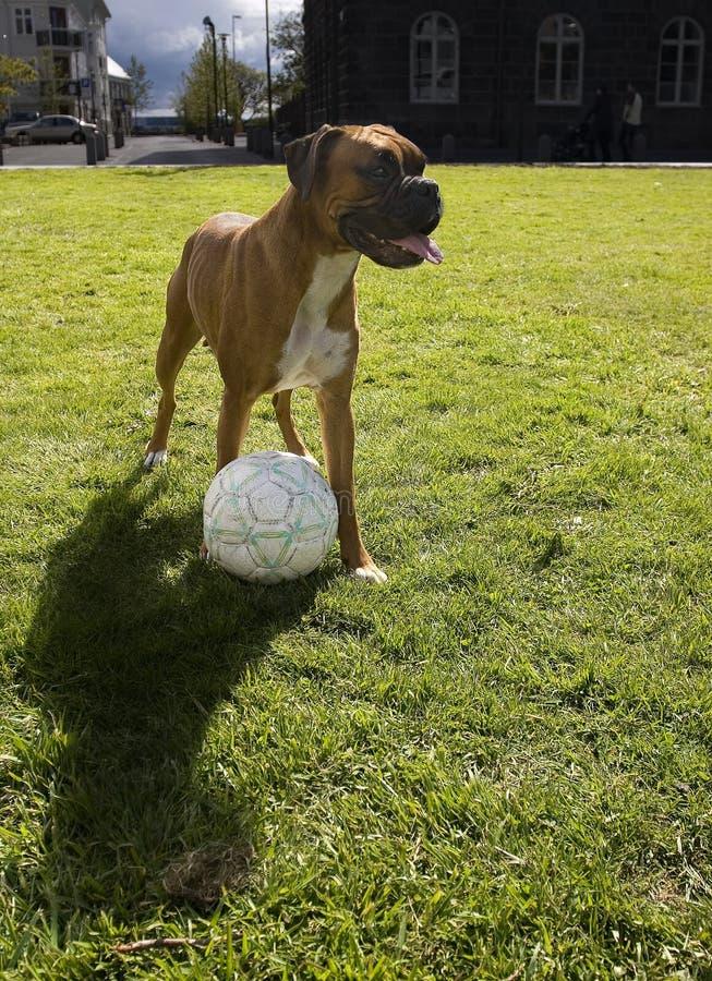 Hund, der Fußball spielt lizenzfreie stockfotografie