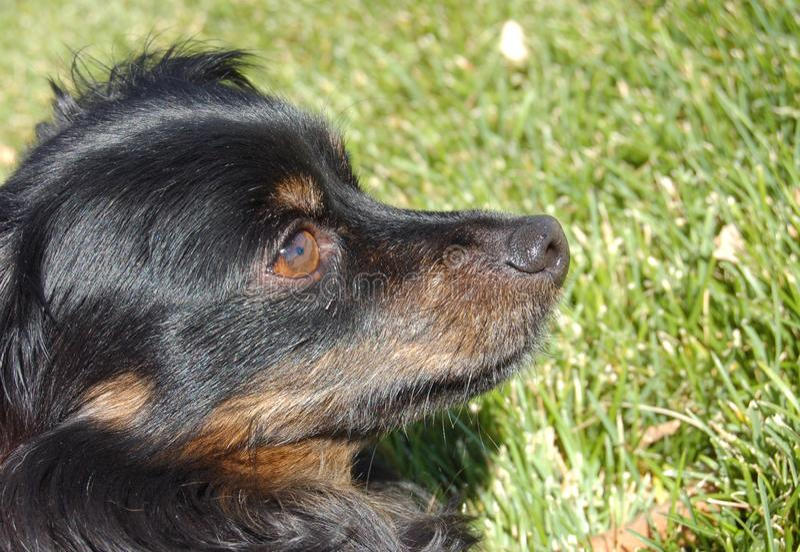Hund, der große Aufmerksamkeit Nachfragen beachtet stockfotos