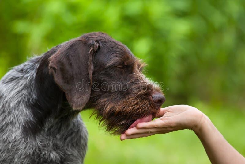 Hund, der Hand der Frau leckt stockfotografie