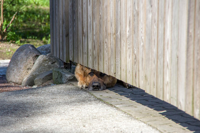 Hund, der heraus von unterhalb eines Zauns lugt stockfotografie