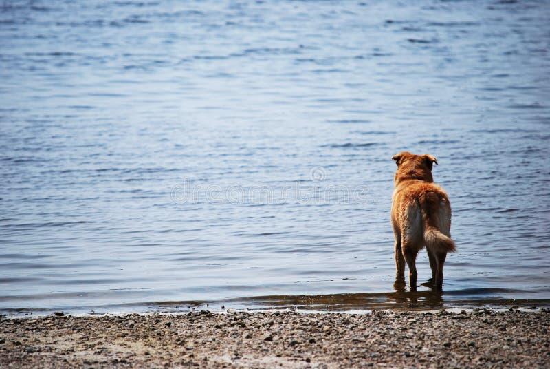 Hund, der heraus zum Meer schaut lizenzfreie stockfotos